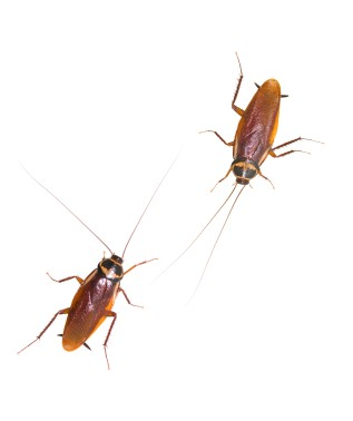 Two isolated_cockroach_on_white_background